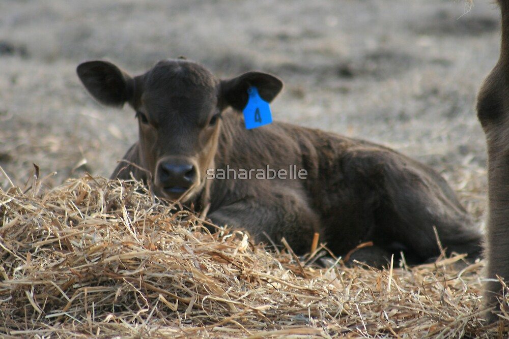 Calf in the Hay by saharabelle