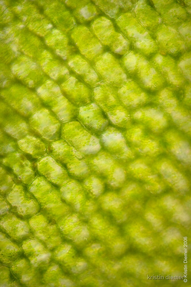 Plant cells 5687 by kristin diemer