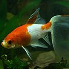 Red and White Goldfish AJ Leith Park 20170216 0979 by Fred Mitchell
