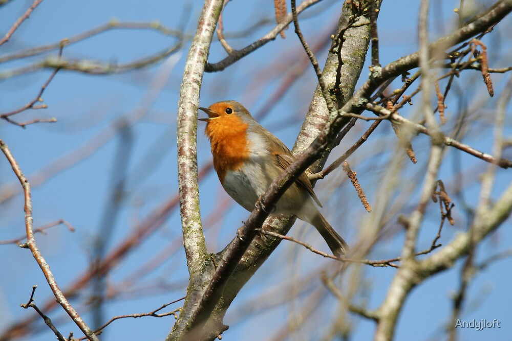 Singing Robin by Andyjloft