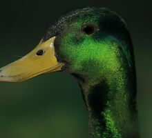 Mallard by Andyjloft