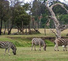 Zebras by BevB