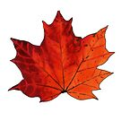 Autumn Maple Leaf by James Minson