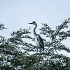 22017 grey heron by pcfyi