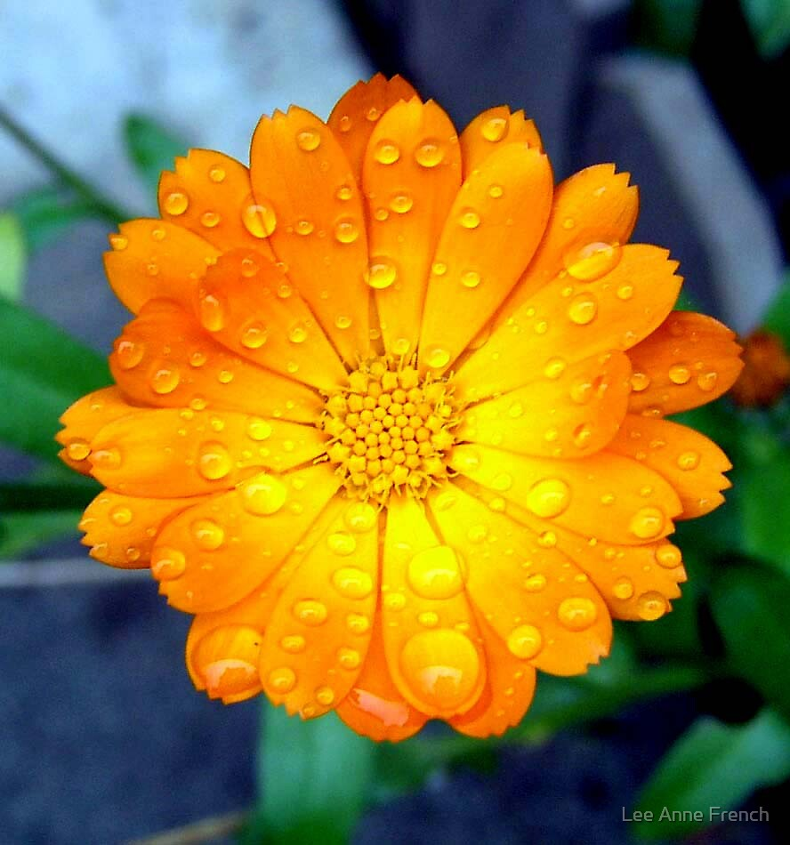 orange, calendula, water, drops, droplets, flower, rain, dew by Lee Anne French