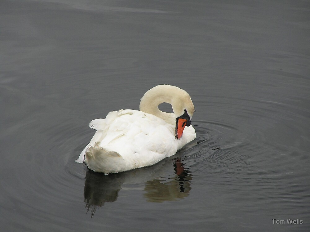 Mute Swan and Reflection by Tom Wells