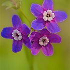 Pacific Hound's Tongue Flowers by John Butler