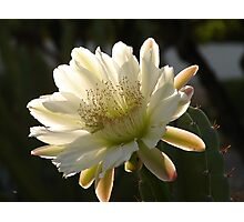 Night Blooming Cactus Photographic Print