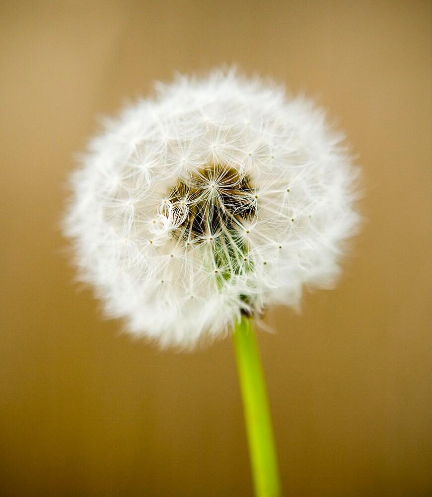 Dandelion  by Darren Anderson