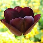 Purple Tulip by John Gilluley
