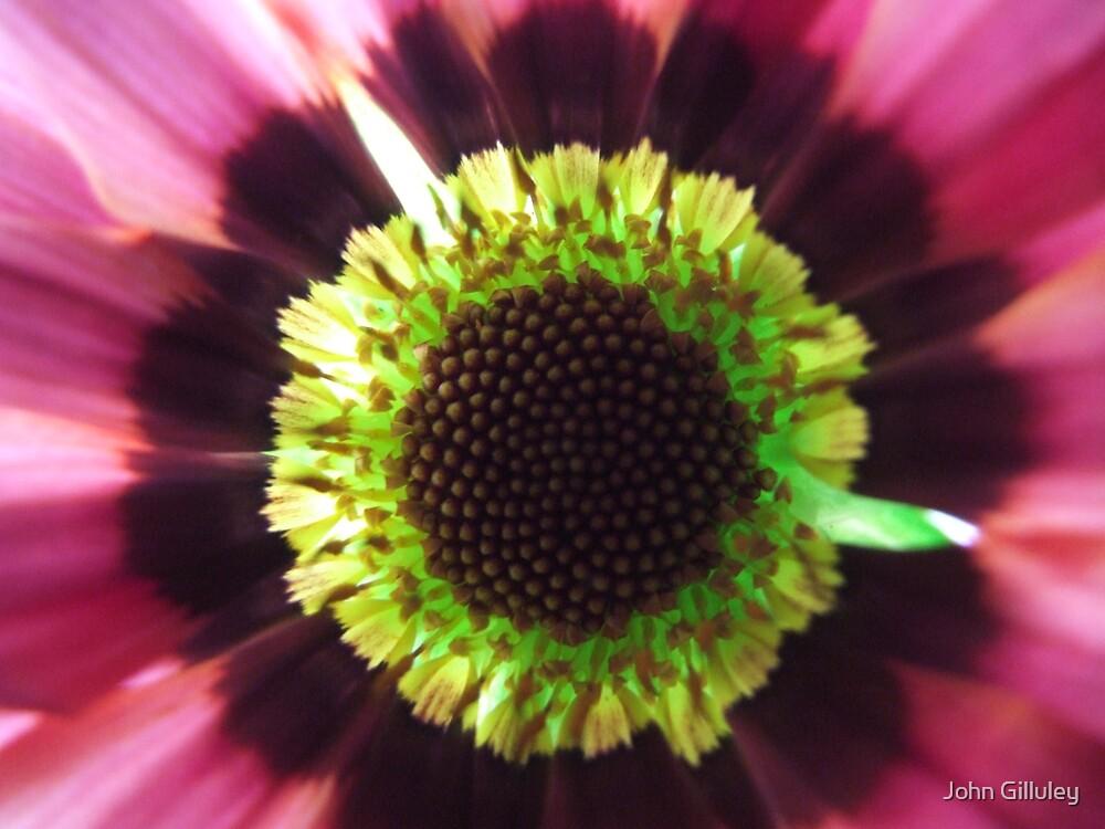 Purple Eye Daisy... by John Gilluley