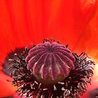 Big Poppy... by John Gilluley