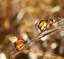 Butterflies at Bald Rock by Ann Barnes