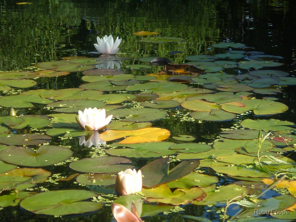 where the water lillies grow by Ruby Coupe
