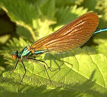 Damselfly by iammeasiam