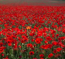 Field of Poppies by Stuart  Gennery