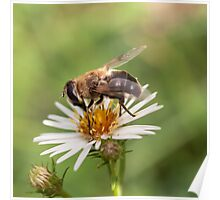 Bee eating Poster
