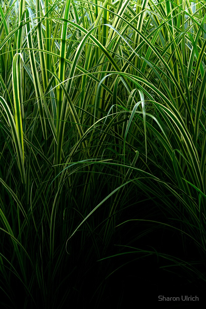 High Grass by Sharon Ulrich
