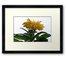 Yellow Chrysanthemum II  Framed Print