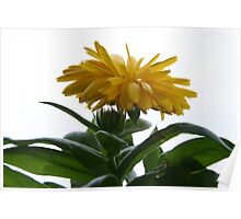 Yellow Chrysanthemum II  Poster