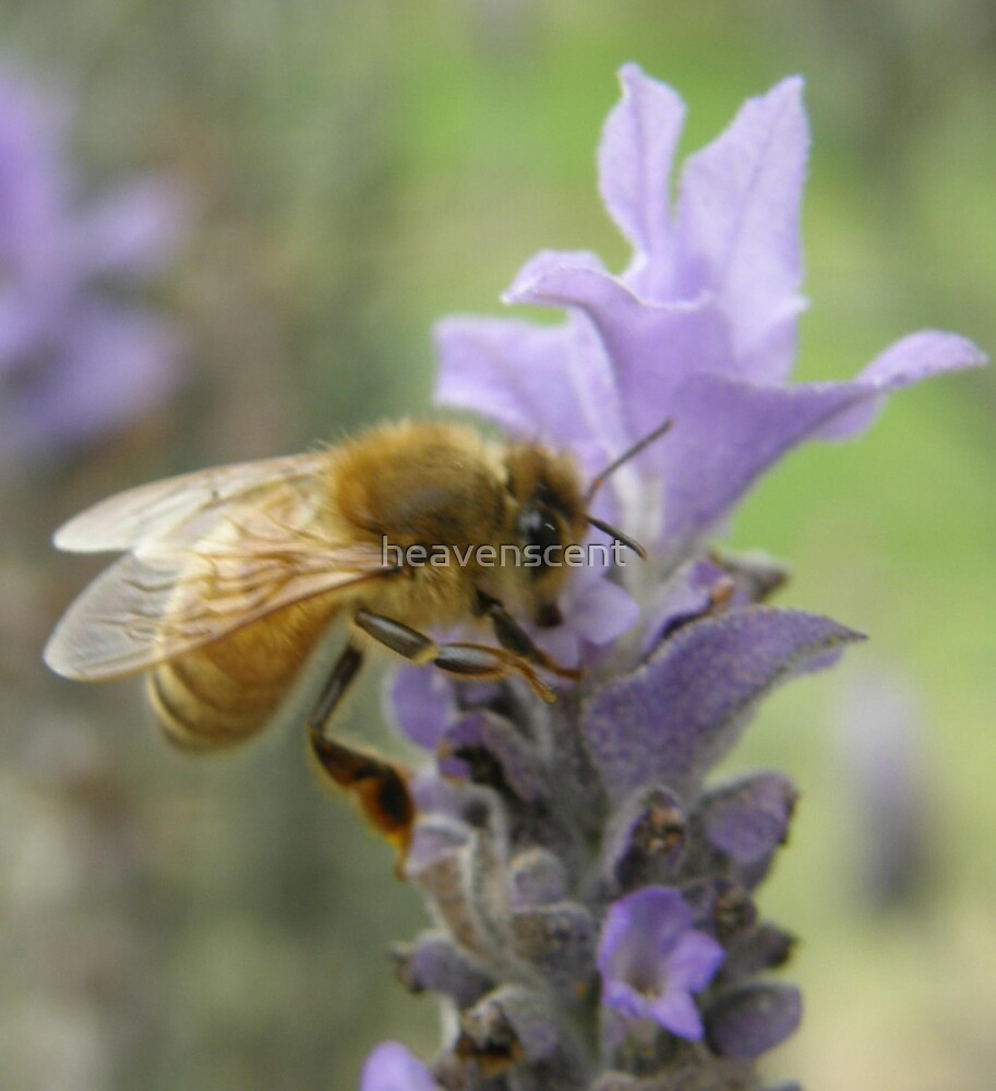 Lavender bee by heavenscent