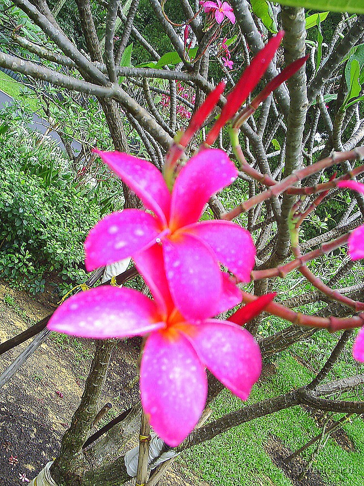Frangipani by peterfrench