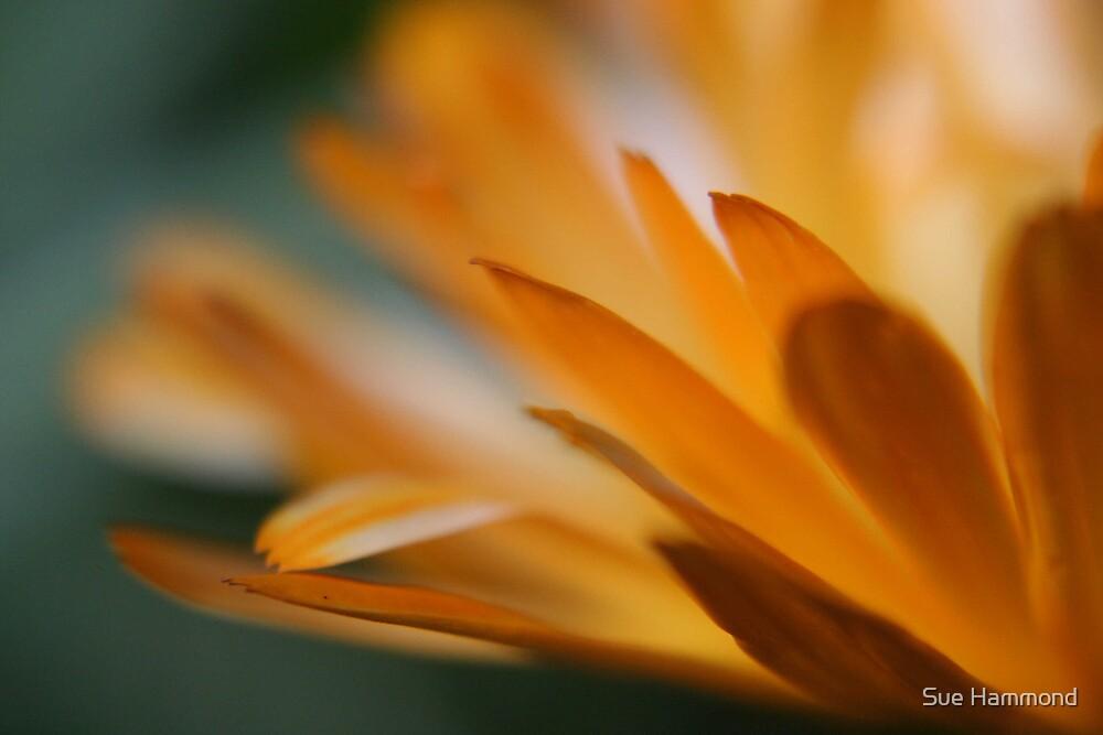petals by Sue Hammond
