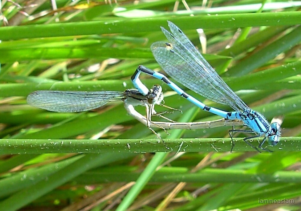 Common Blue Damselflies mating by iammeasiam