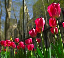 Red tulips perspective by Gabor Papai