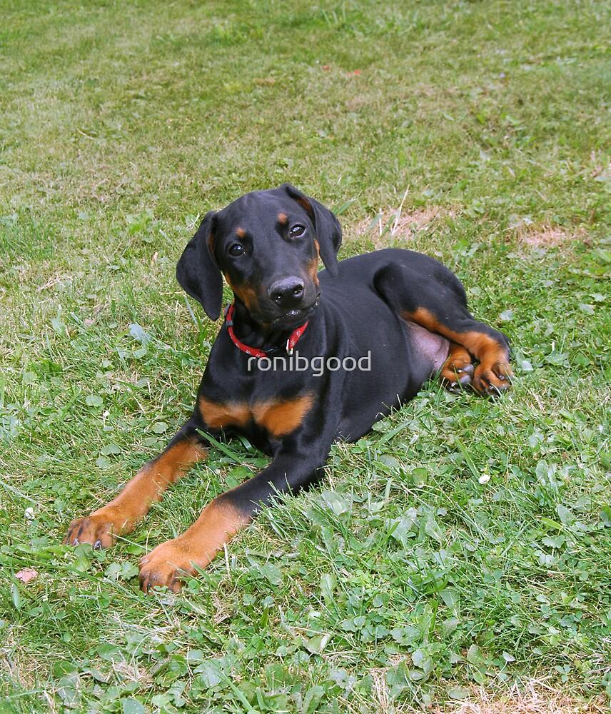 Doberman puppy by ronibgood