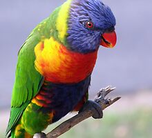 Rainbow Lorikeet by Keith Spencer