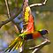 Rainbow lorikeet in flight by Sheila  Smart