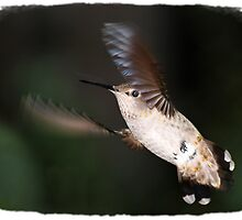 Hummingbird in Flight by Laura Pflibsen