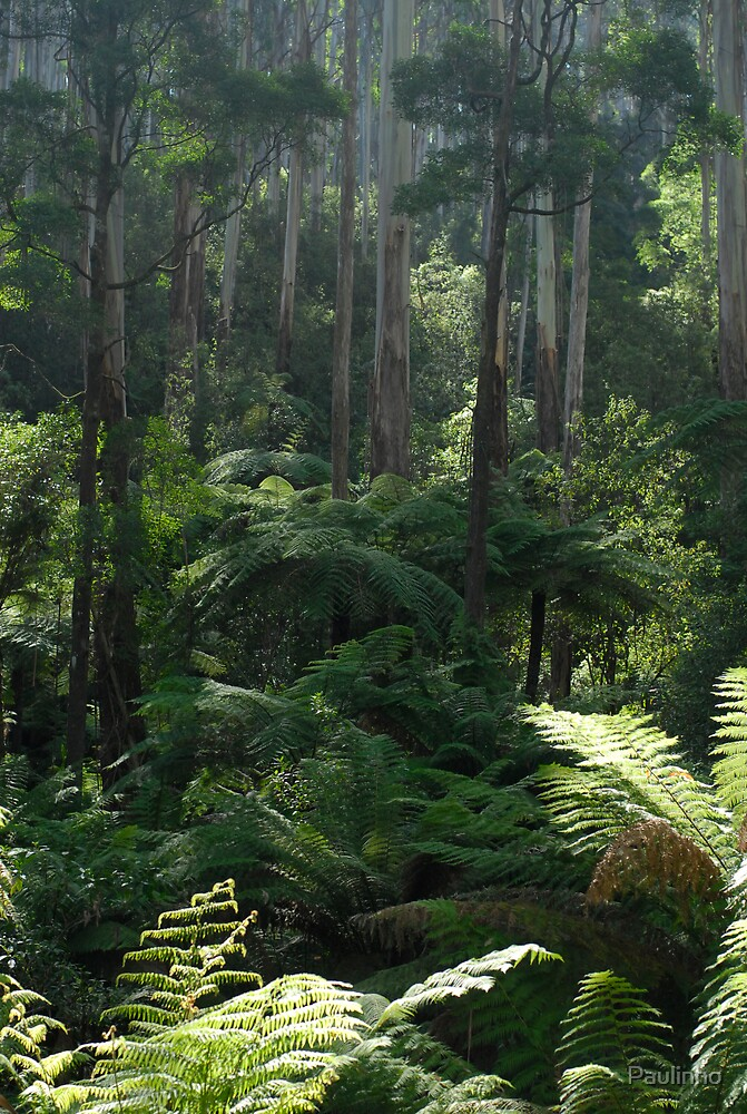 Black Spur Forest by Paulinho