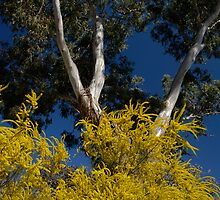 Wattle and Gum by Paulinho