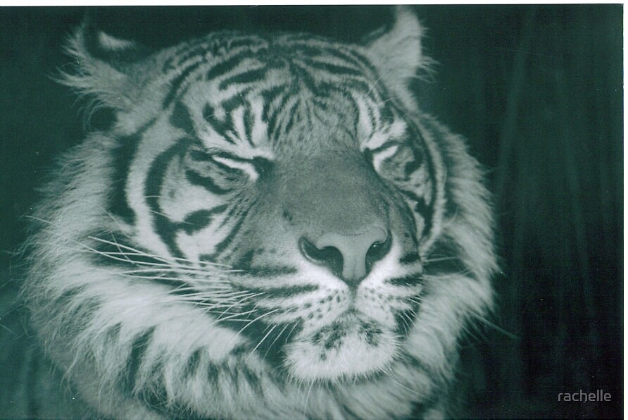 tiger2 by rachelle