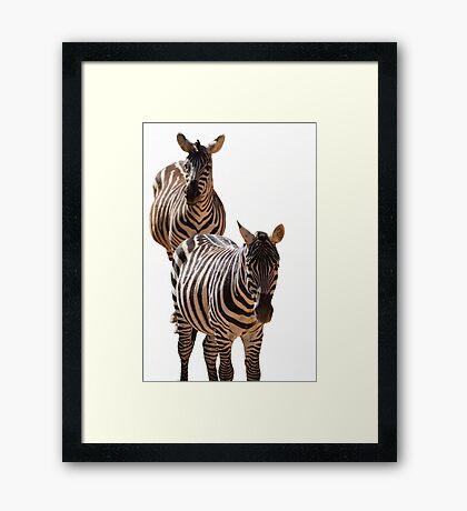 couple of zebra Framed Print