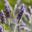 Lavender Bee by Richard Annable