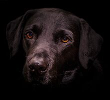 The Classic Black Labrador by JFPhotography