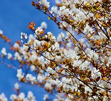 Shad Tree in Blossom by Kathleen Daley