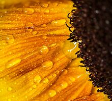 Sunflower 7 by John Velocci