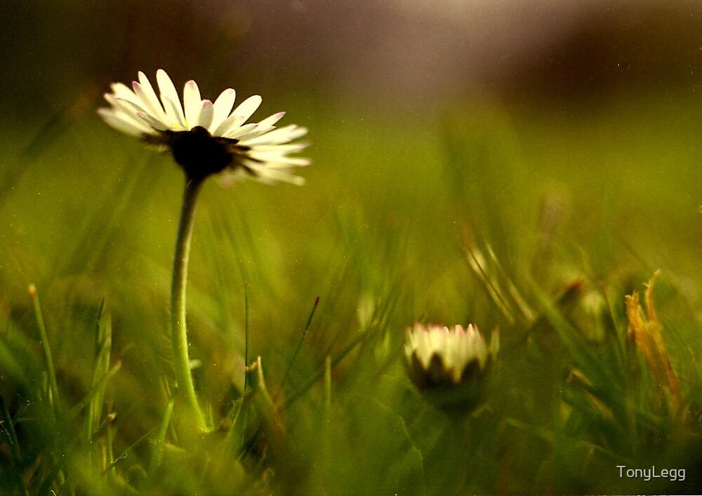 Daisy by TonyLegg