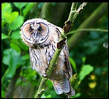 Long Eared Owl by tedbear