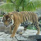 Sumatran Tiger by Melanie PATRICK