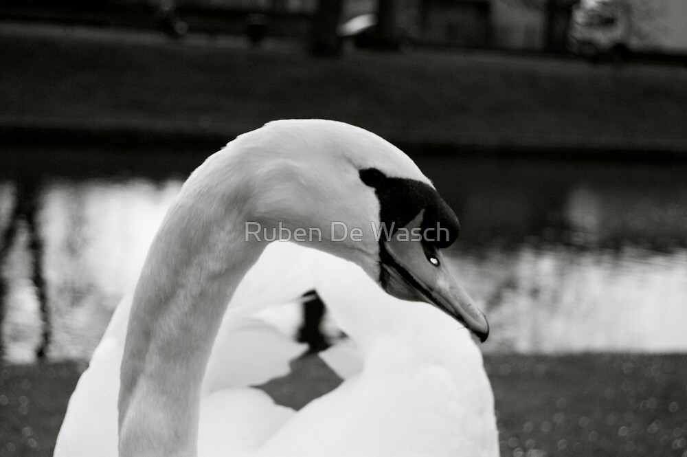 Swan by Ruben De Wasch