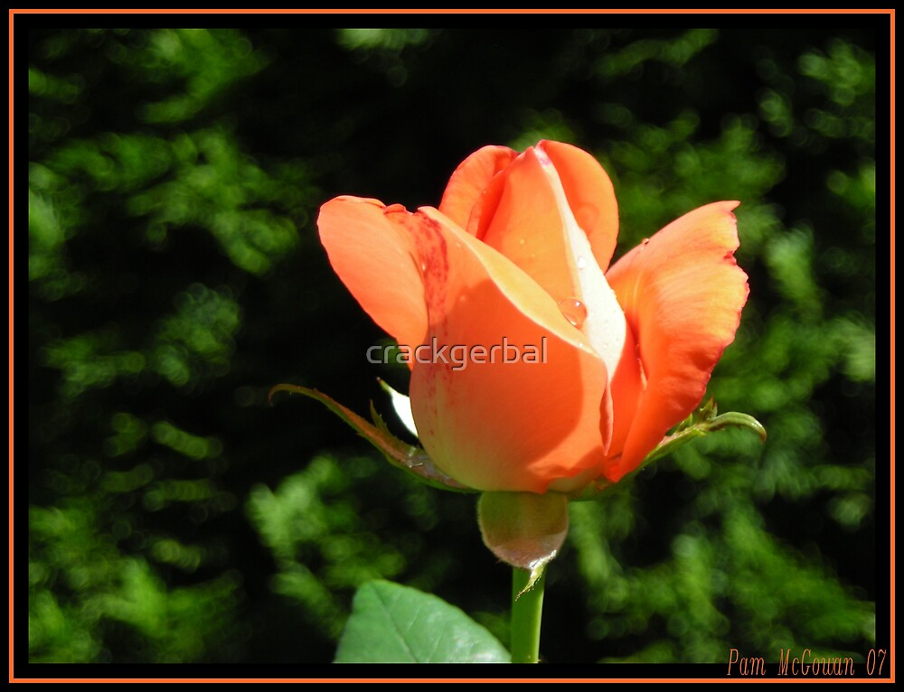 Orange Rose by crackgerbal