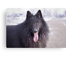 Belgian Shepherd Groenendael Close-Up Canvas Print