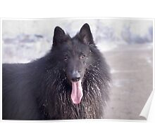 Belgian Shepherd Groenendael Close-Up Poster