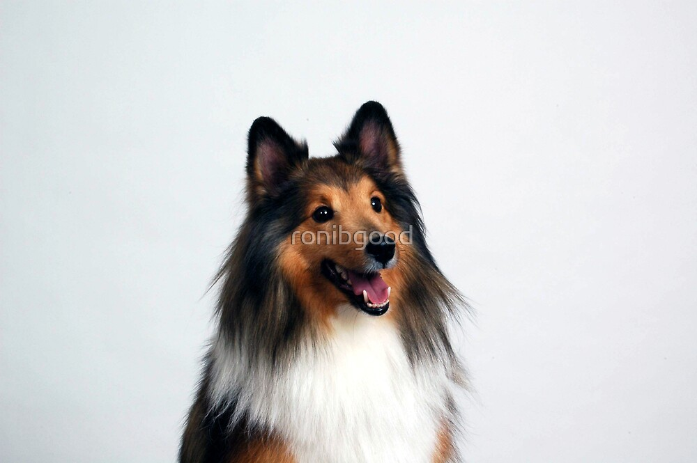 Pretty Sheltie by ronibgood