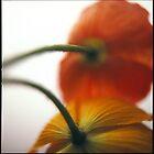 Shy poppies by Teresa Gaudio